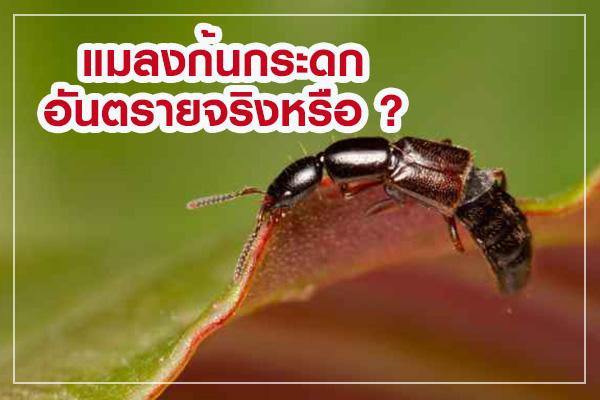 Rove-Beetle01