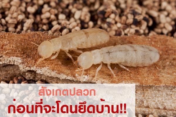 termite01